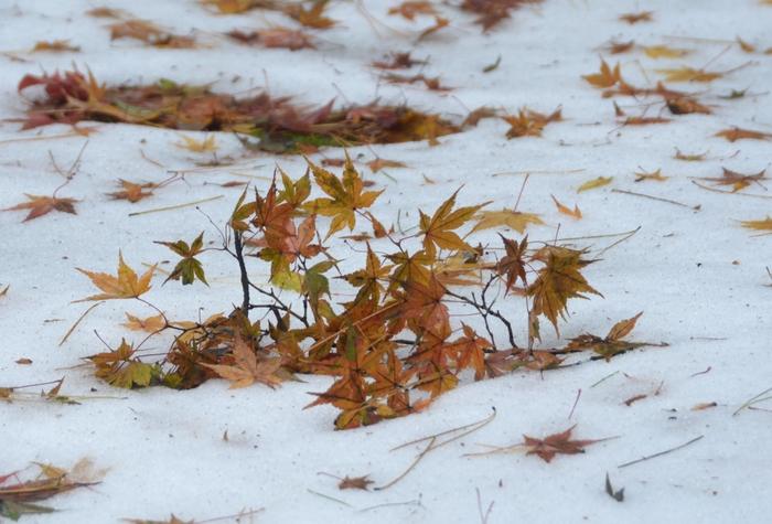 雪と落ち葉-3