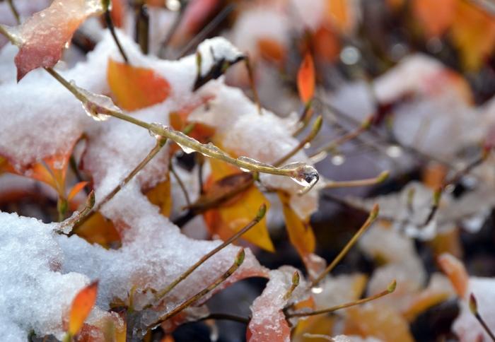 雪のドウダンツツジ-3