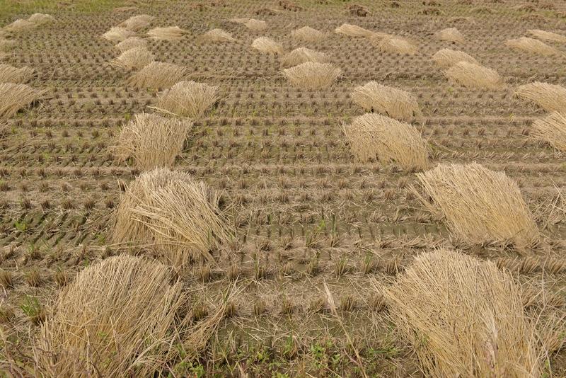 稲刈り後-2