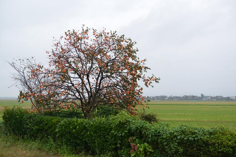 柿の木 雨の朝-1