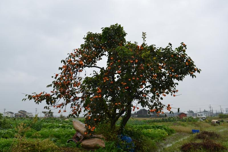 柿の木 雨の朝-2