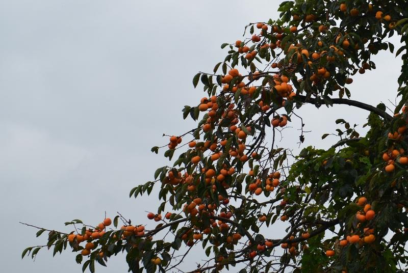 柿の木 雨の朝-3
