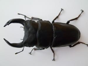 11種親 久留米82.8(CBF1)