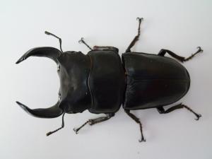 11種親 久留米81.9(CBF2)