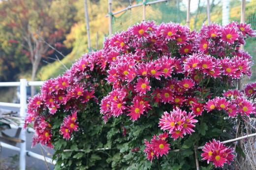菊の花・1