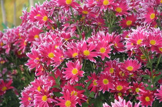 菊の花・2
