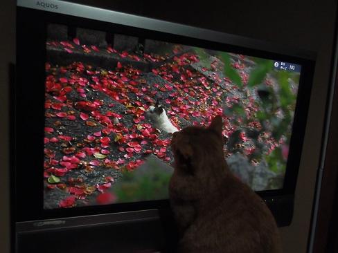 テレビの中の猫とチビ1