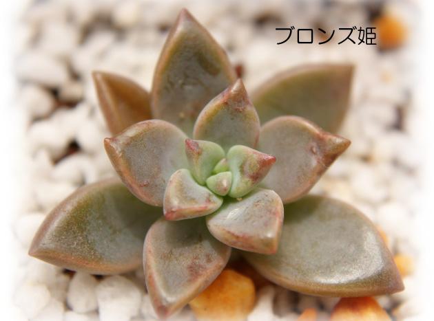 ブロンズ姫20120714