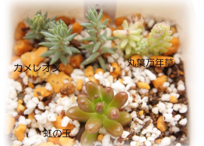 虹の玉・カメレオン・丸葉万年草20120714