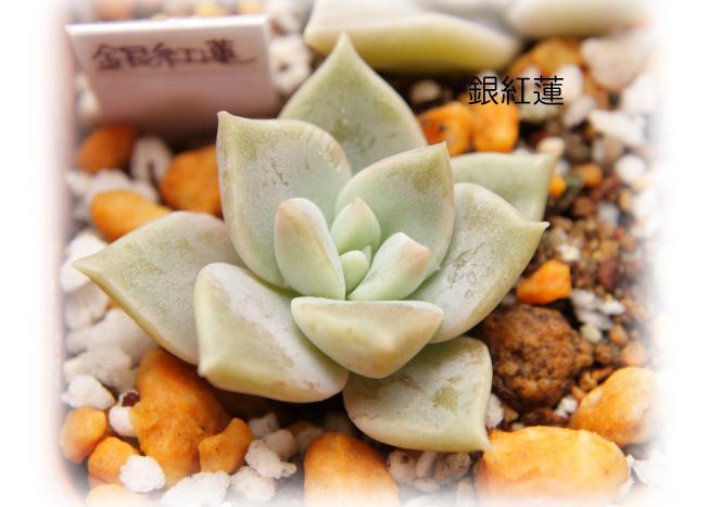 銀紅蓮20120714