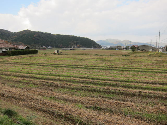 薩摩を刈り取り中のコンバイン