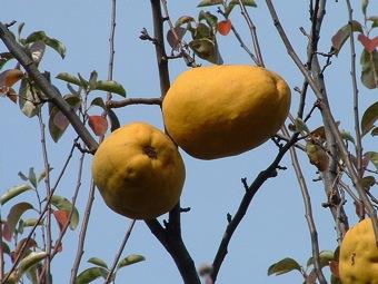 800px-Japanese_karin_fruits.jpg