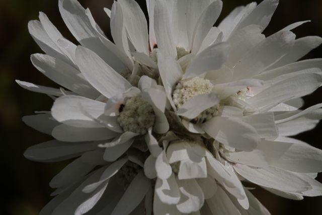 9:3CephalipterumDrummondii白花拡大