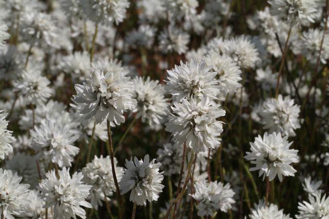9:3CephalipterumDrummondii白花