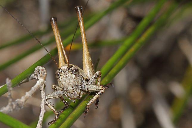 11:8キリギリス幼虫メス顔