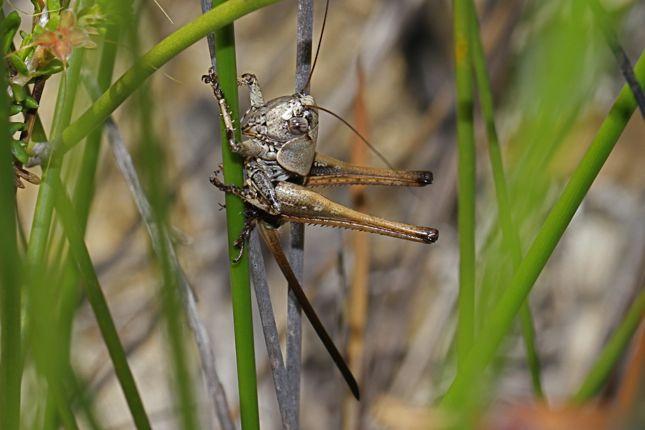 11:8キリギリス幼虫メス横