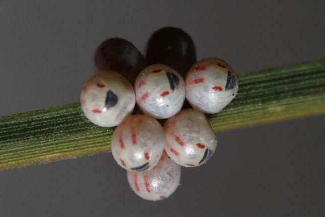 11:1カメムシ卵