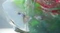 グラステール水合わせ (2)