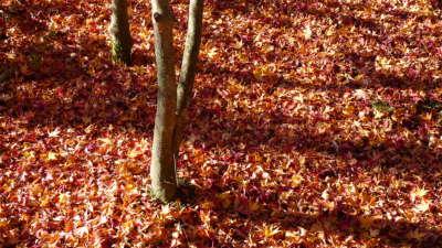 ドウダンツツジの落ち葉