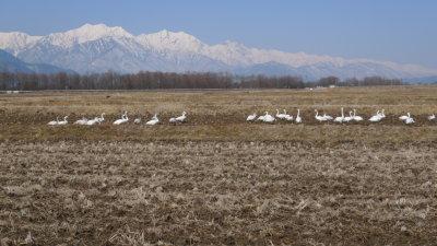 白鳥と後立山連峰