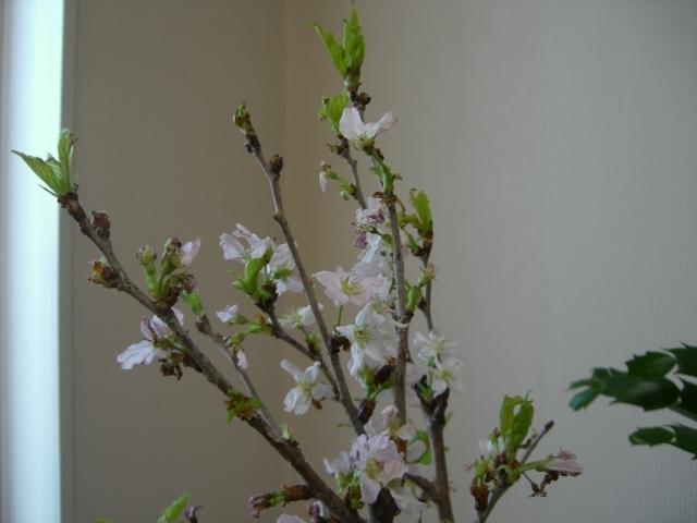 スローライフ日記-啓翁桜