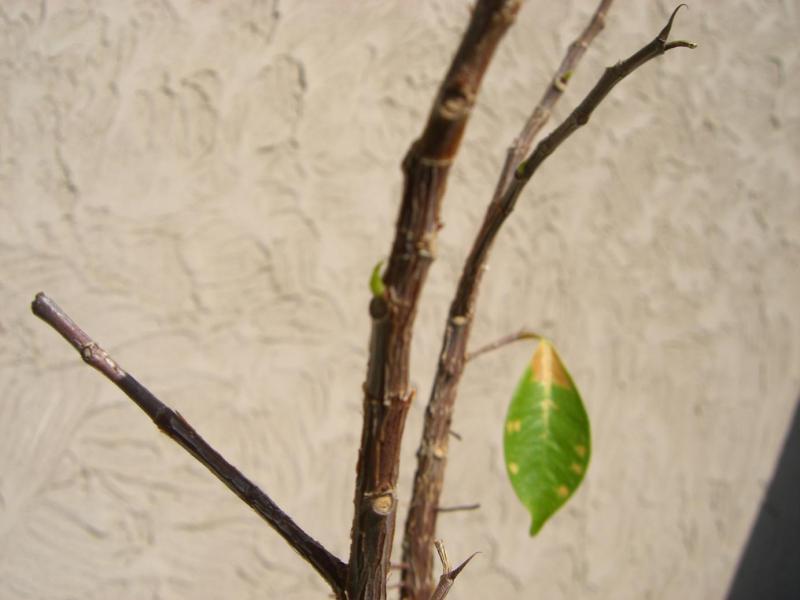 スローライフ日記 (ガンとの闘病日記はもうすぐ終わりにします)-ガジュマルの新芽