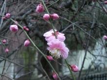 スローライフ日記 (ガンとの闘病日記はもうすぐ終わりにします)-梅の花アップ