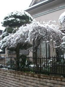スローライフ日記 (ガンとの闘病日記はもうすぐ終わりにします)-雪の日のしだれ梅