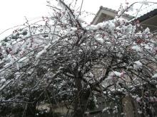 スローライフ日記 (ガンとの闘病日記はもうすぐ終わりにします)-雪に負けずに咲いている