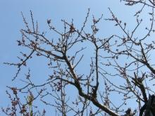 スローライフ日記-2日前の杏子の木