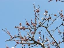 スローライフ日記-今日の杏子の木