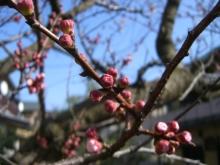 スローライフ日記-杏子の木の蕾