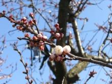スローライフ日記-少し咲いてきた杏子の蕾