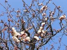 スローライフ日記-杏子の蕾が花になるところ