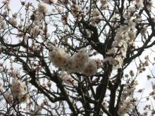 スローライフ日記-庭の杏子の木が満開