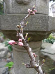 スローライフ日記-庭の桃の木の蕾