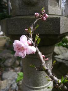 スローライフ日記-ももの木の花