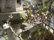 スローライフ日記-ももの木の蕾
