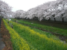 東京でプチスローライフ-川の桜