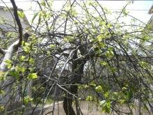 東京でプチスローライフ-しだれ梅の新芽