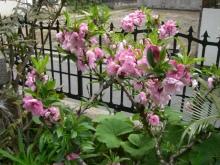 東京でプチスローライフ-桃の木