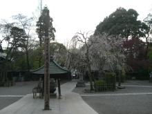 東京でプチスローライフ-しだれ桜が綺麗です