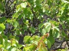 東京でプチスローライフ-杏子の木