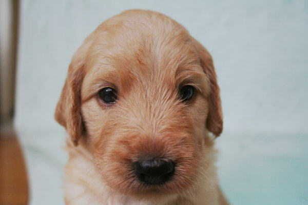 ゴールデンドゥードルブリーダー 子犬「リンス」