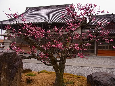 福成寺の梅