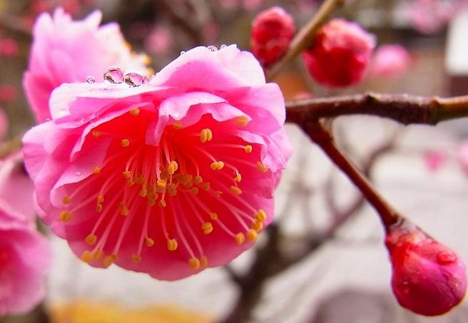 福成寺の紅梅 雨にうたれて ・・