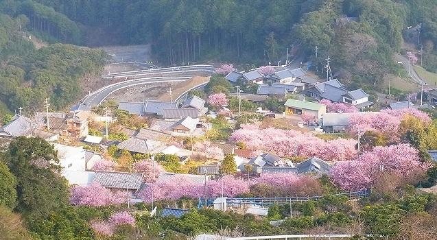 雪割り桜2