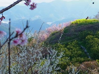 雪割り桜3