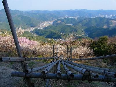 雪割り桜4