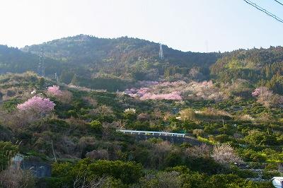 雪割り桜5